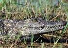 des-africa-botswana-wildlife-crocodile01_2580x2580