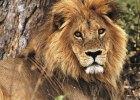 des-africa-botswana-wildlife-lion01_2580x3219