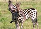 des-africa-botswana-wildlife-zebra02_2580x2580